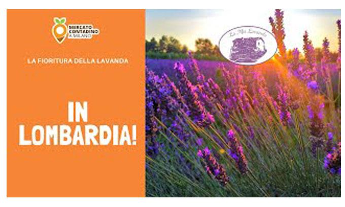 La fioritura della lavanda in Lombardia